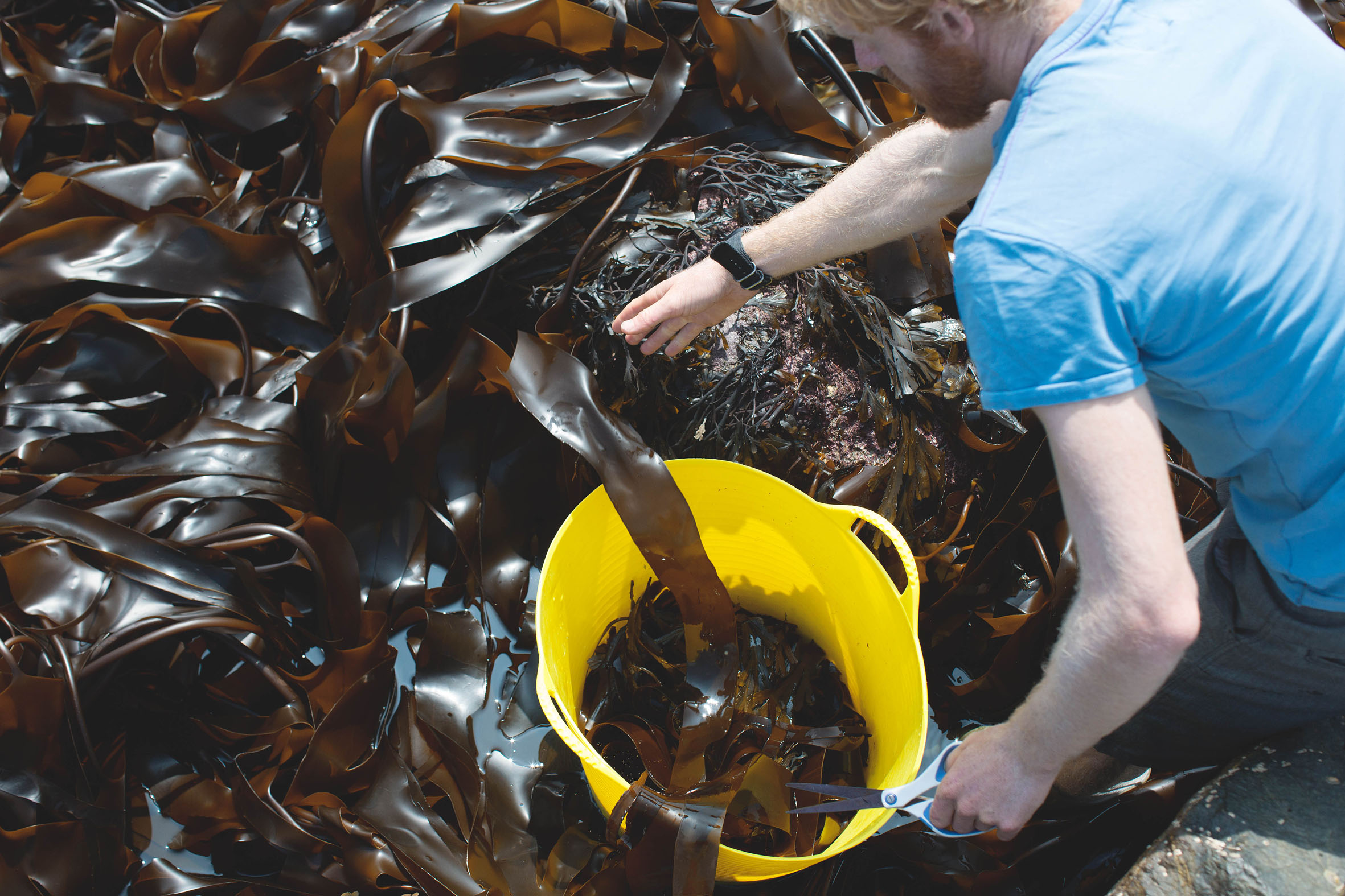 Miele The Cornish Seaweed Company Harvesting